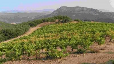 Reben bei Trilla in den Fenouillèdes / Roussillon