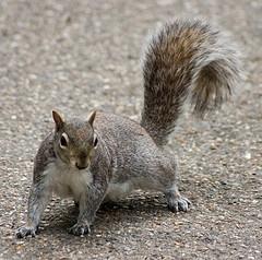 Ein sterbendes Eichhörnchen im Vorgarten.....   foto:Dominics's pics flickr